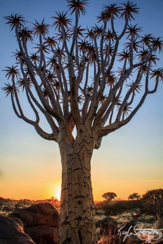 Колчан дърво, Намибия.