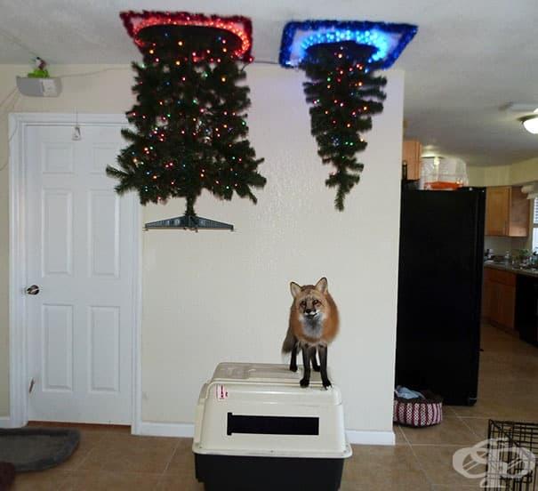 Когато в къщата има лисица по Коледа
