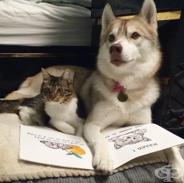 Котенце било спасено и отгледано от хъски и сега се мисли за куче