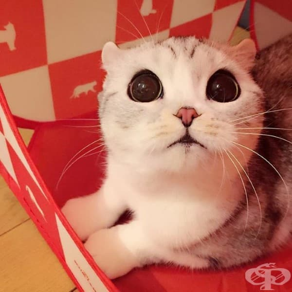 Запознайте се с Хана – японското коте с огромни очи