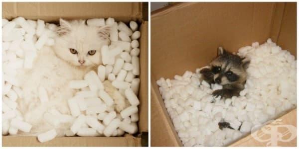 Преди да изхвърлите картонените кутии, уверете се, че няма котки или еноти в тях.