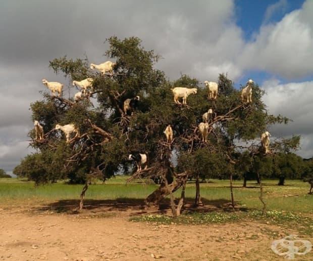22 удивителни снимки, които доказват, че козите могат да се катерят високо
