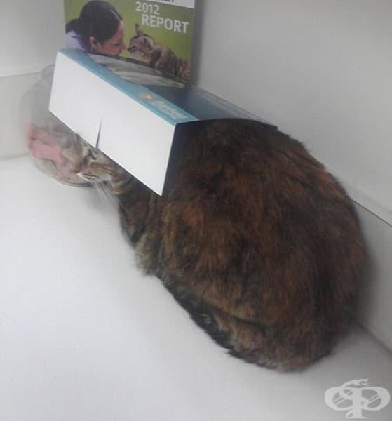 Тази котка е забравила, че вече не се събира в тази кутия.