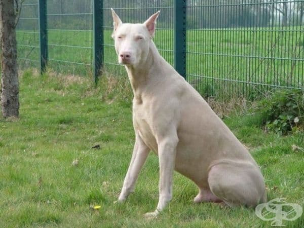 Куче албинос.