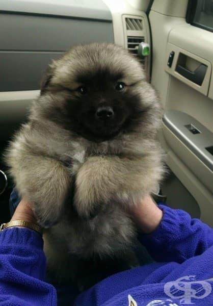 Кръстоска между кийшонд и американско ескимоско куче