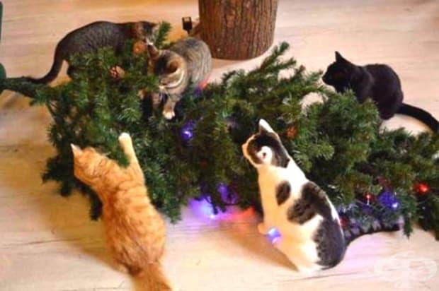 По традиция всяка година тези котки се събират над трупа на една елха…