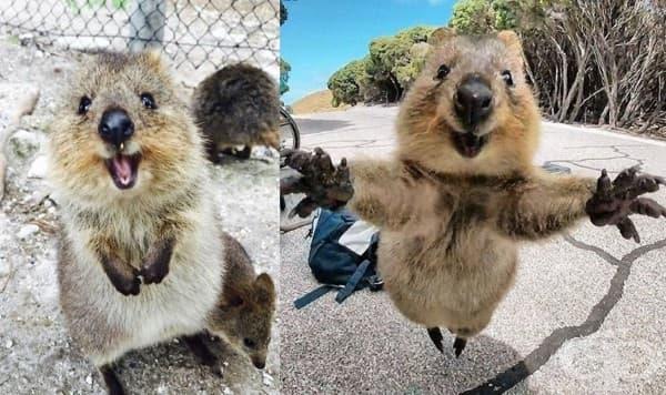 Запознайте се с куока: най-щастливото животно на света