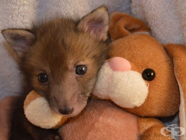 Спасено лисиче обожава да се гушка с плюшеното си зайче