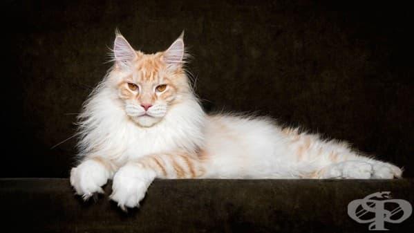 Мейн куун – най-величествената порода котки