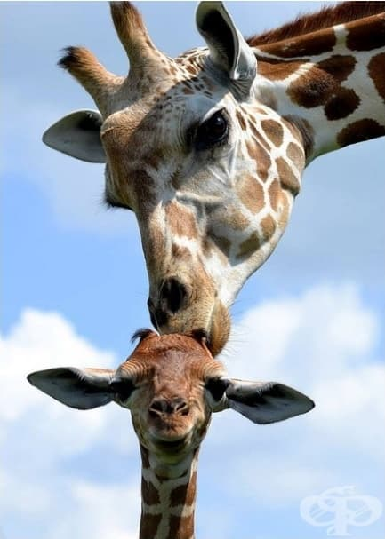 Всички знаят, че целувките на мама са най-нежни.
