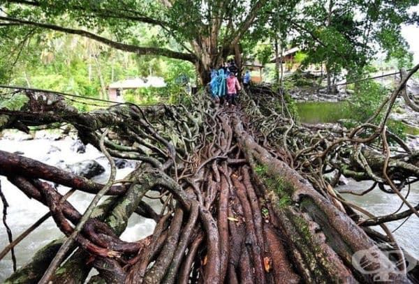 Мост, направен от корените на дърветата, Индонезия.
