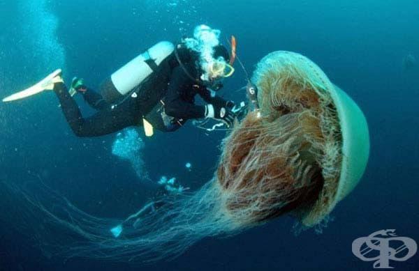 Медузата Номура: Тази медуза е намерена край бреговете на Япония и може да тежи до 200 кг. Това е приблизително същия размер като медузата лъвска грива - най-голямата в света.
