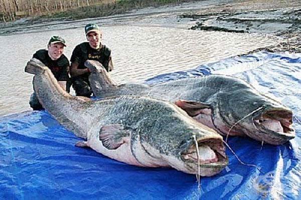 Меконгски сом: Тези гигантски риби се срещат в замърсените водни пътища на Китай. Те могат да нараснат до 3 метра дължина и се хранят с кошмарите на децата (предполагаме ).