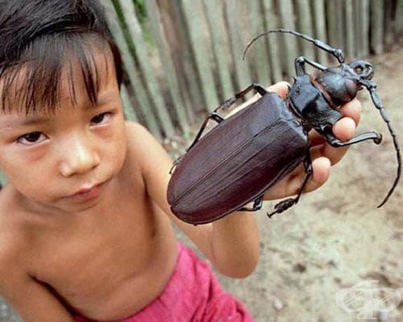 Този бръмбар титан е намерен в Южна Америка и е на второ място след бръмбара Херкулес по размер. Той може да ндостигне до 17 см.