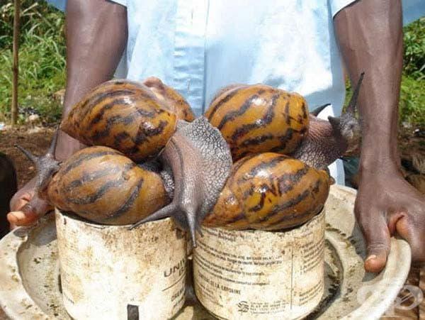 Африкански гигантски охлюв: Този гигантски охлюв е намерен в Източна Африка и може да достигне до 8 см на дължина. Той е вредител в градските райони и разпространява различни заболявания.