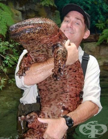 Китайски гигантски саламандър: Този гущер може да нарасне до 2 метра дължина и е почти сляп. Той е и най-голямото земноводно в света. Можете да го намерите в потоците и езерата в Китай.