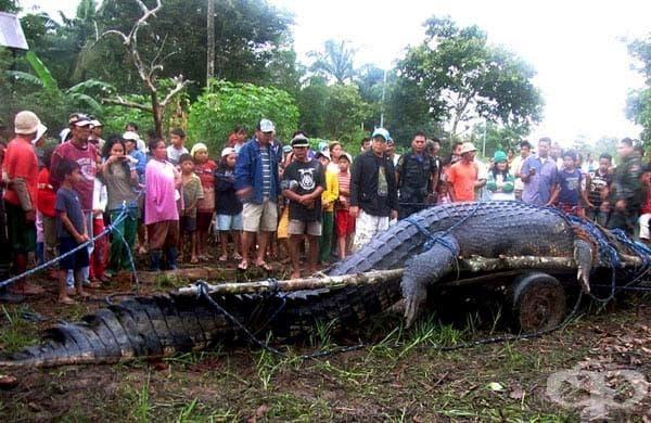 Соленоводен крокодил: Това е най-големият крокодил , който някога е бил залавян, с дължина над 6,5 метра. Той е заловен жив след триседмичен лов.