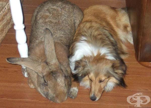 Фламандски зайци: Фламандските зайци са големи, но Санди е един от най-големите. Тук тя е с домашния си любимец Шелти.