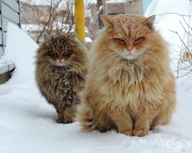 Сибирски котки