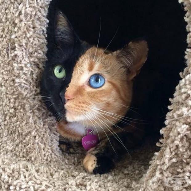 Винъс, котката химера