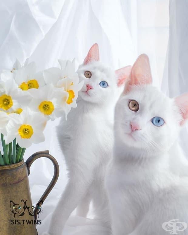 Ирис и Абис – най-красивите котки в света