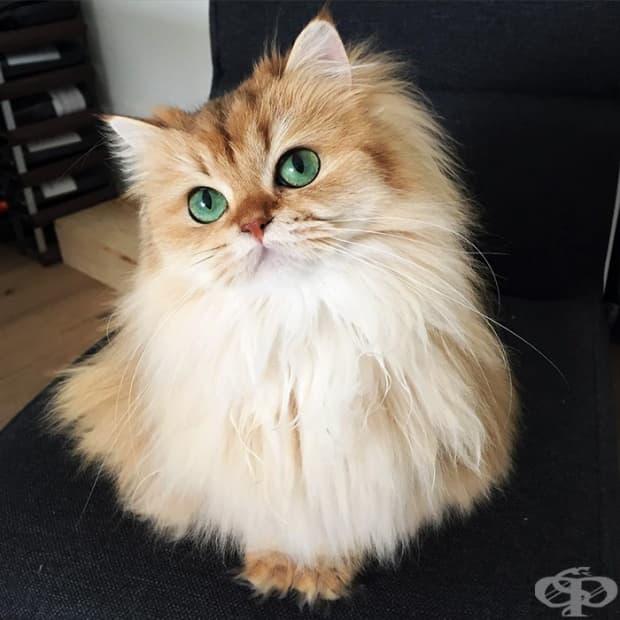 Тор, бенгалската котка