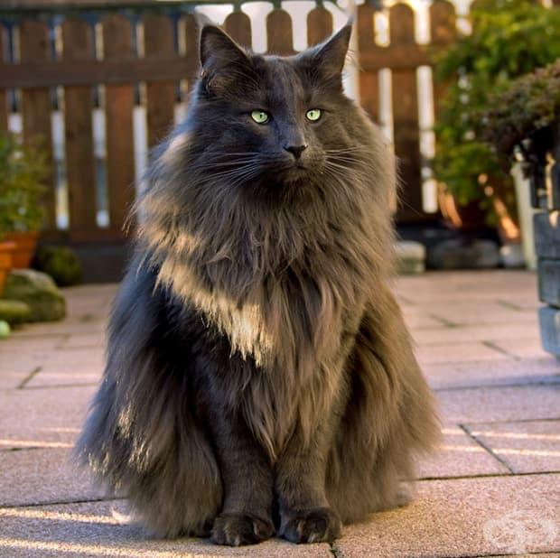 Луан – норвежка горска котка