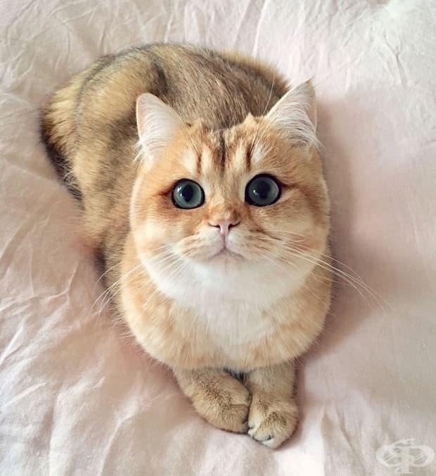 Тиквичка – британска късокосместа котка