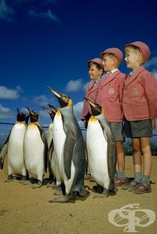 Момчета, облечени в училищни униформи позират с кралски пингвини в лондонския зоопарк, 1953