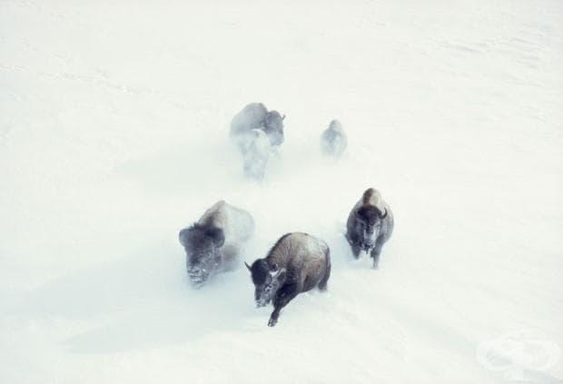 Бизони преминават през снега в Национален парк Йелоустоун, Ноември 1967