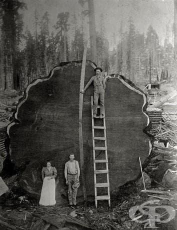 Регистратори пред гигантска Марк Твен секвоя, отсечена в Калифорния, 1892