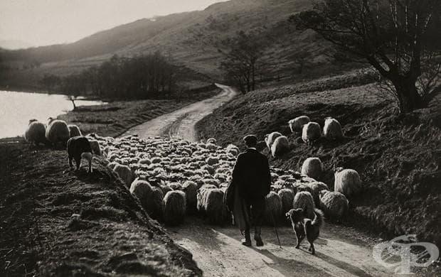 Човек води стадо овце с помощта на колитата си в Шотландия, 1919