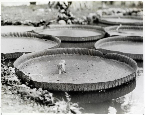 Коте на борда на плаваща водна лилия във Филипините , 1935