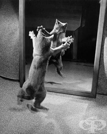 Коте атакува своето собствено огледално отражение, 1964