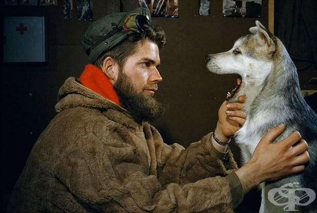Мъж изследва зъбите на 10-месечно кученца аляски маламут в близост до Южния полюс , 1957