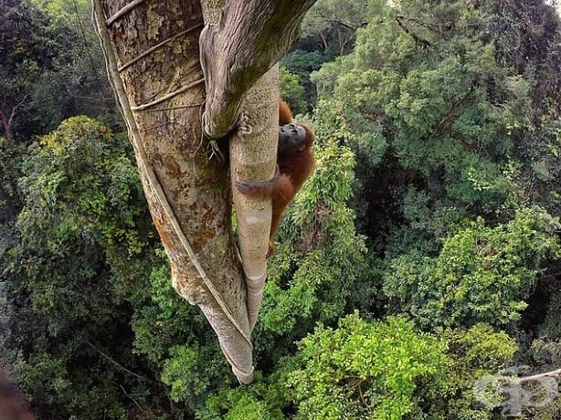 Изкушен от плода на смокиня удушвач, борнейски орангутан изкачва 30 метра. Мъжките тежат около 90 кг., орангутаните са най-големите животни, обитаващи дървета, в света.