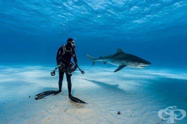 Водолаз държи под око тигрова акула на Бахамите. Сцената може да не е толкова опасна, колкото изглежда: тигровите акули разчитат на изненадата, когато ловуват своята плячка и е малко вероятно да атакуват водолази, които ги държат под око.