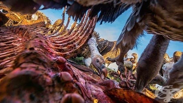 Млад лешояд яде част от зебра в Серенгети. По-доминиращите птици пробират месото по избор, оставяйки кожата и костите и за други птици.