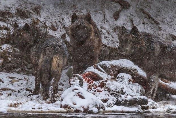 Трупове на бизони, които са се удавили в река Йелоустоун, се превръщат в храна за този вълк и две-годишното му потомство.