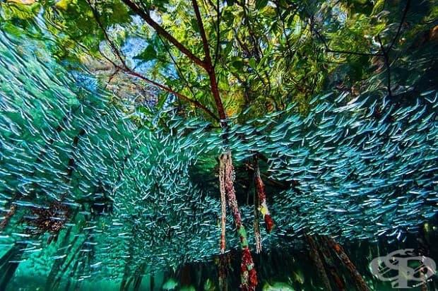 В мангровите гори в кораловите рифове край Куба. Риби с големината на пръст формират големи пасажи в опит да объркат хищниците.