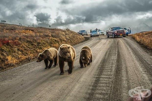 В Аляска - майка гризли и малките й причиняват задръстване на пътя, отворен за частни превозни средства единствено 5 дни всяко лято.