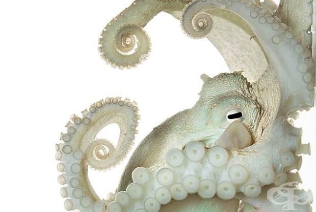 Нервната система на този обикновен октопод е по-голяма и по-сложна, отколкото тази на повечето безгръбначни. Може ли да мисли? Има ли съзнание? Изследователи се чудят дали някога ще разберем.