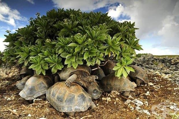 Костенурки търсят подслон от слънцето. Те ще се сготвят в черупките си, ако останат в жегата прекалено дълго.