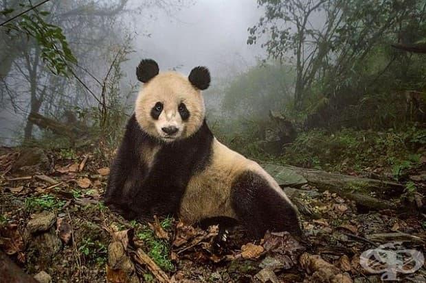 Ye Ye, 16-годишната панда, се изтяга в дивото заграждение на природен резерват Wolong в Китай.