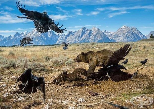 Части от региона Йелоустоун са по-диви сега, отколкото преди век. Гризлитата се размножават. Тази мечка, в Национален парк Гранд Тетон, държи гарваните на разстояние от труп на бизон. Работниците са го преместили от пътя.