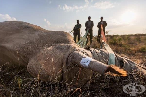 За да защити носорозите, национален парк стреля на месо
