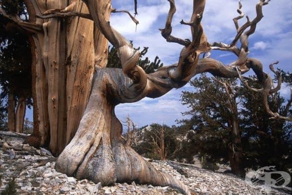 Осилест бор - най-старото дърво на Земята.