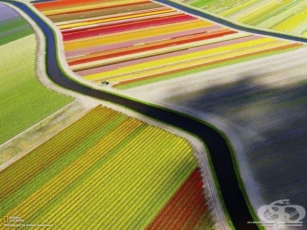 Полета от лалета, Холандия.