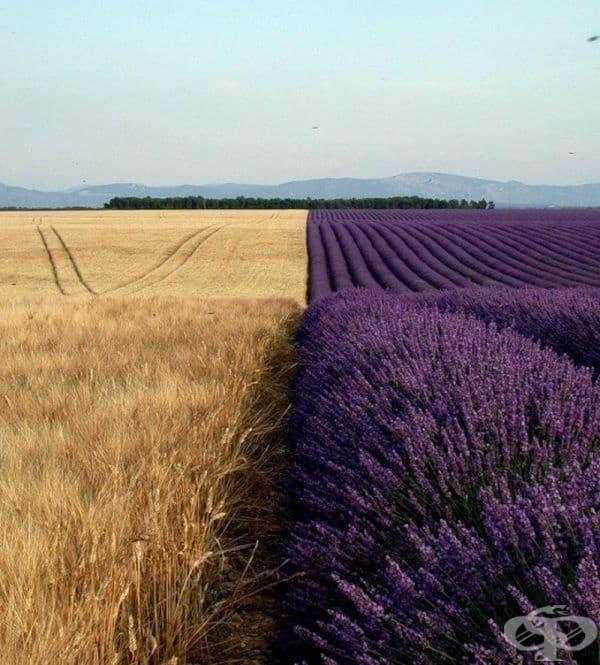 Пшеница срещу лавандула.