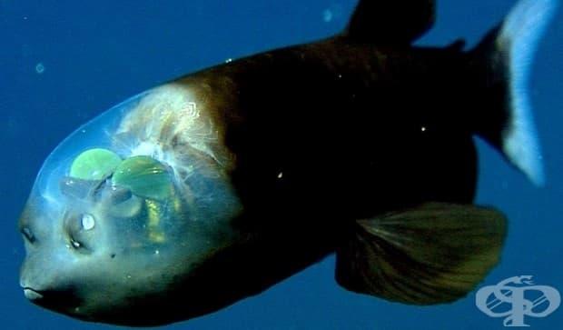 Странни създания: барелеевата риба с прозрачна глава